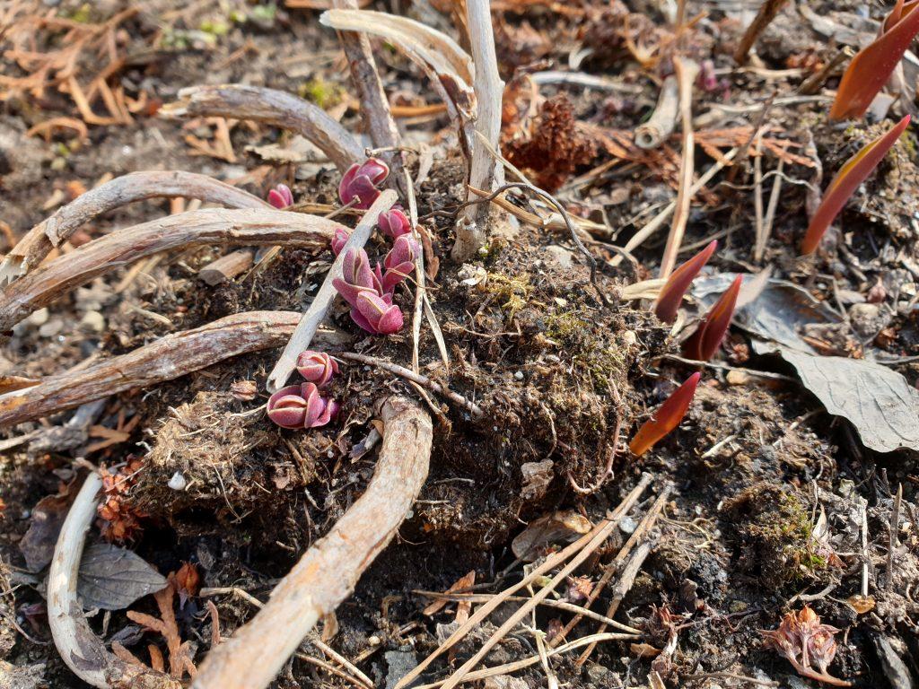 Mullan puuttuminen maksaruohon juurilta