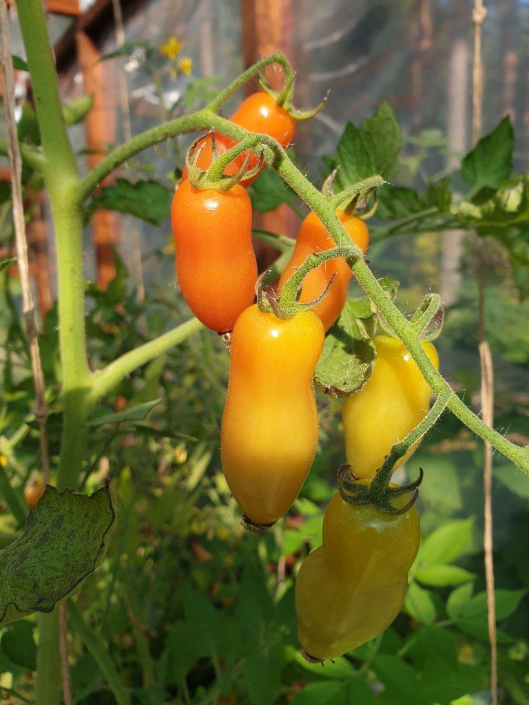 Tomaatit kypsyvät