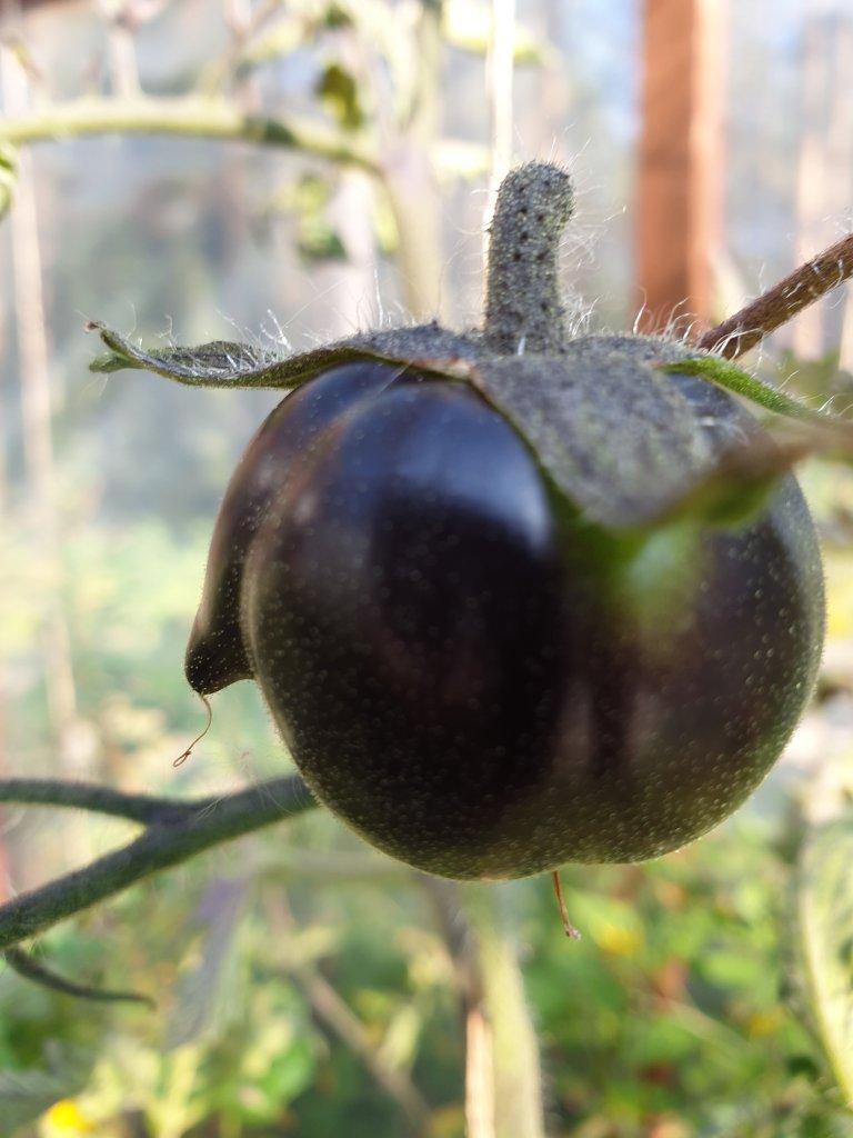 Musta tomaattti