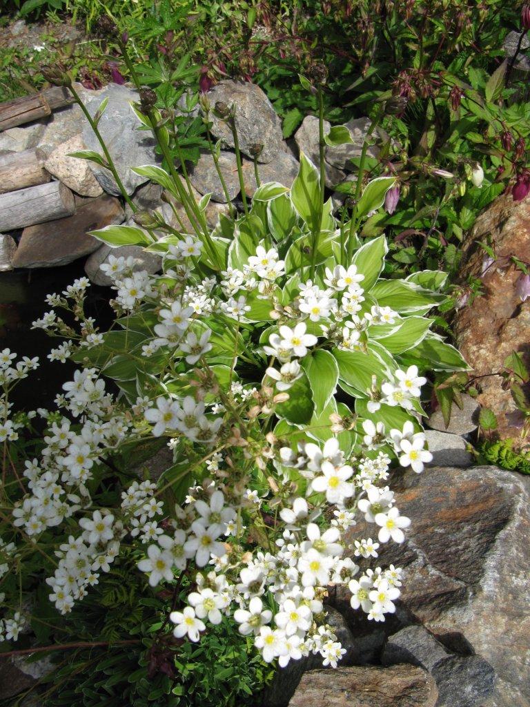 Valkoinen kivikkokasvi